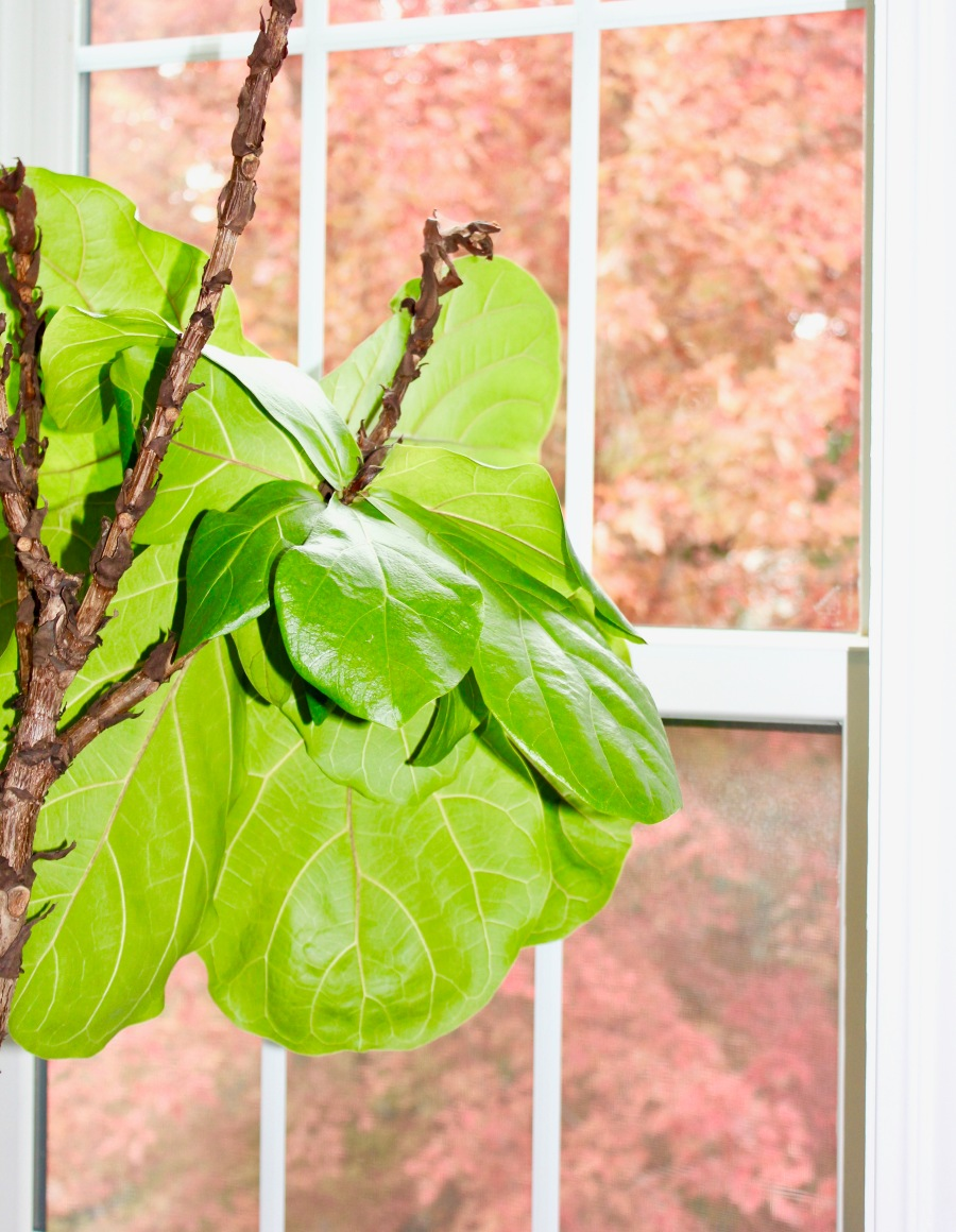 Fiddle Leaf Fig The Artesian Project